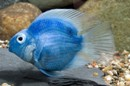 Фото синий попугай