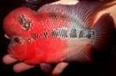 Купить фловер хорны (фото фловер хорна) : фловер хорн сиамский кроваво-красный (Siam-Bloodred Flowerhorn)
